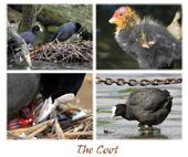 The Coot 01