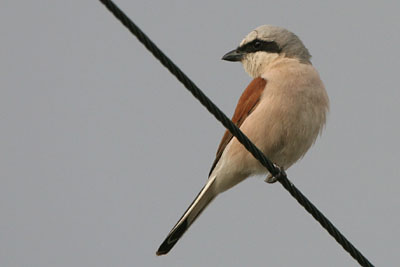 Red-backed Shrike (male), Epanomi � 2005  F. S. Simpson