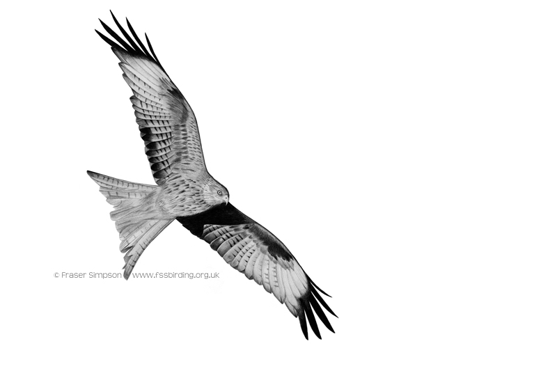 Red Kite drawing � Fraser Simpson