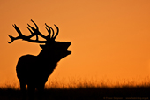 Red Deer (Cervus elaphus) � Fraser Simpson