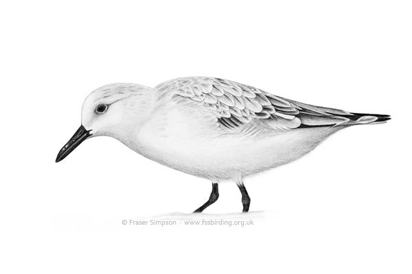 Sanderling drawing � Fraser Simpson