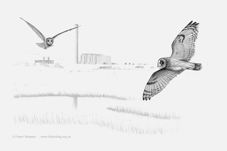 Drawing of Short-eared Owls, Rainham Marshes 2015 � Fraser Simpson
