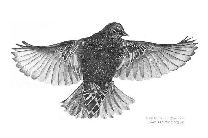 European Starling drawing © Fraser Simpson