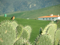 Stonechat on Prickly Pear, Zahara