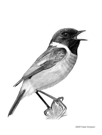 Stonechat drawing © Fraser Simpson