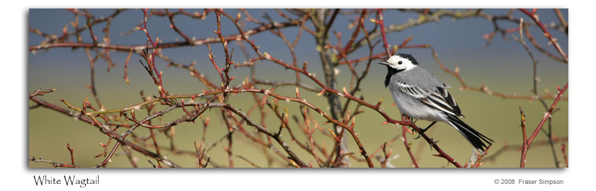 White Wagtail © 2008 Fraser Simpson