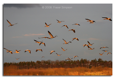 Cranes flying to roost © 2008 Fraser Simpson