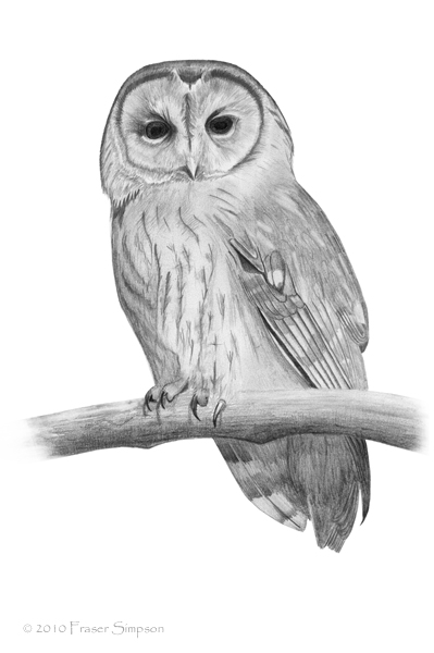 Tawny Owl drawing © Fraser Simpson