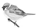 Tree Sparrow sketch � Fraser Simpson