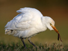 Cattle Egret, Scotland