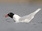 Mediterranean Gull, London