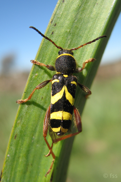 Wasp Beetle © 2008 Fraser Simpson