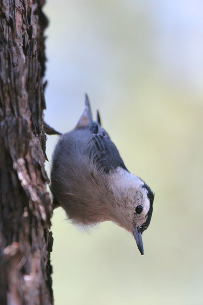 White-breasted Nuthatch ©2006 Fraser Simpson