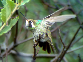 White-eared Hummingbird, �06 Fraser Simpson
