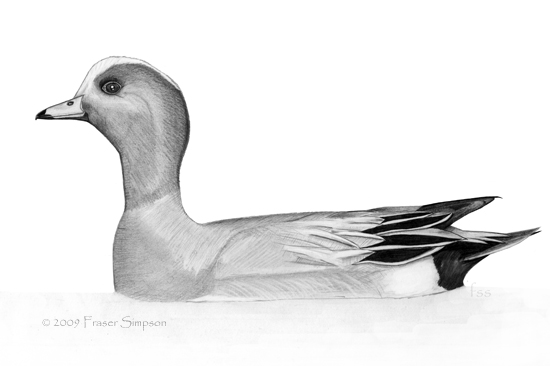 Eurasian Wigeon drawing © Fraser Simpson