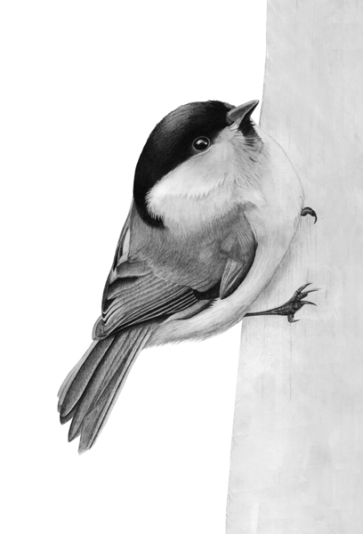 Willow Tit drawing © Fraser Simpson