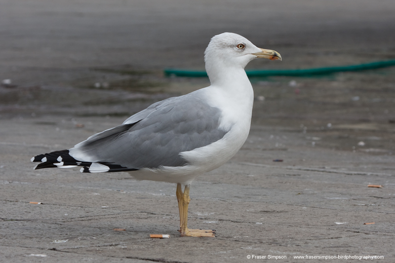 Yellow-legged Gull, Venice � Fraser Simpson
